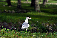 A gull forages for dead salmon at the Weaver Creek Spawning Channel near Harrison Mills, British Columbia, Canada.
