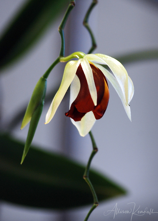 A rare elegant orchid hangs on a zig-zag stem from above