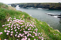 Pink Sea Thrift (Armeria maritima) Orkney Islands Scotland