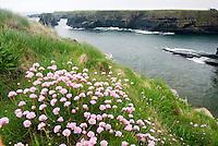 Pink Sea Thrift (Armeria maritima) Orkney Islands Scotland
