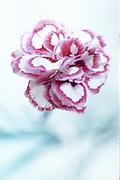 Dianthus 'Gran's Favourite' - pink