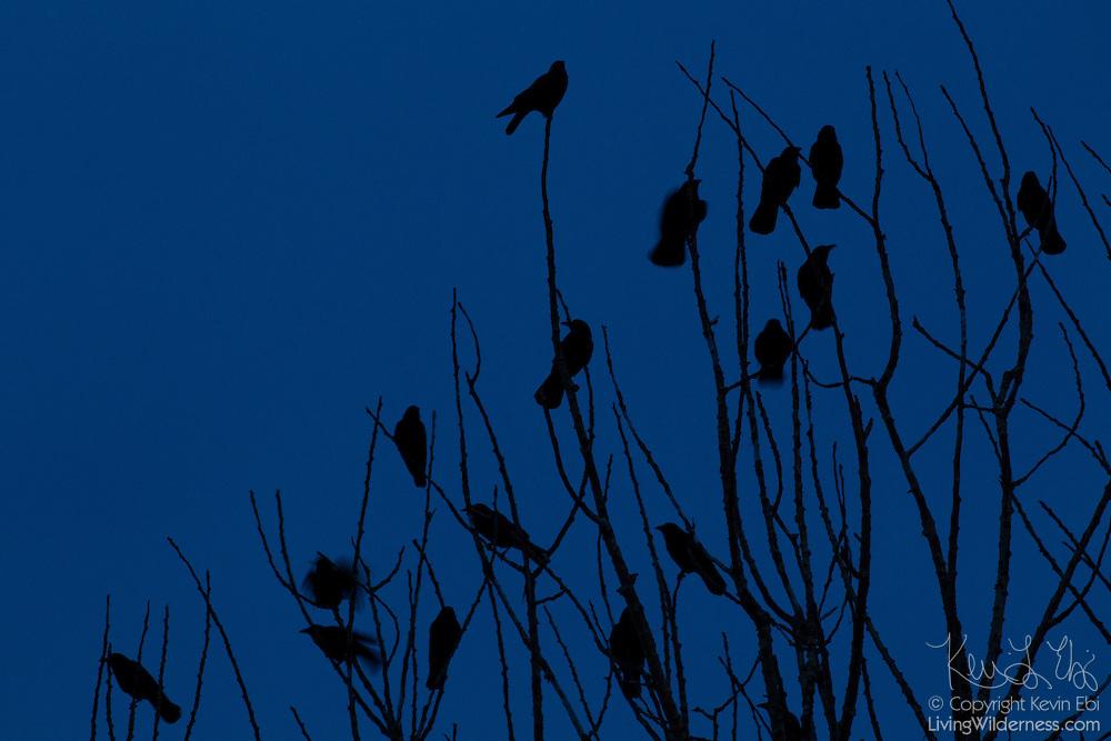 A murder of American crows (Corvus brachyrhynchos) roosts in a tree at twilight.