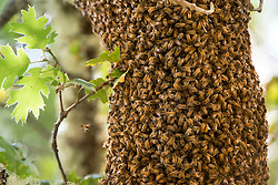 June 25, 2017 - Elkton, OREGON, U.S - A large swarm of thousands of wild honey bees gather on the limb of an oak tree on a hillside near Elkton in southwestern Oregon. Swarming is the process by which a new honey bee colony is formed when the queen bee leaves the colony with a large group of worker bees. (Credit Image: © Robin Loznak via ZUMA Wire)