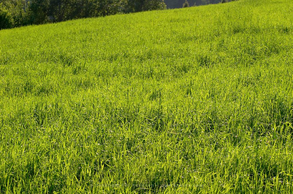 Grazing field with grass. Smaland region. Sweden, Europe.