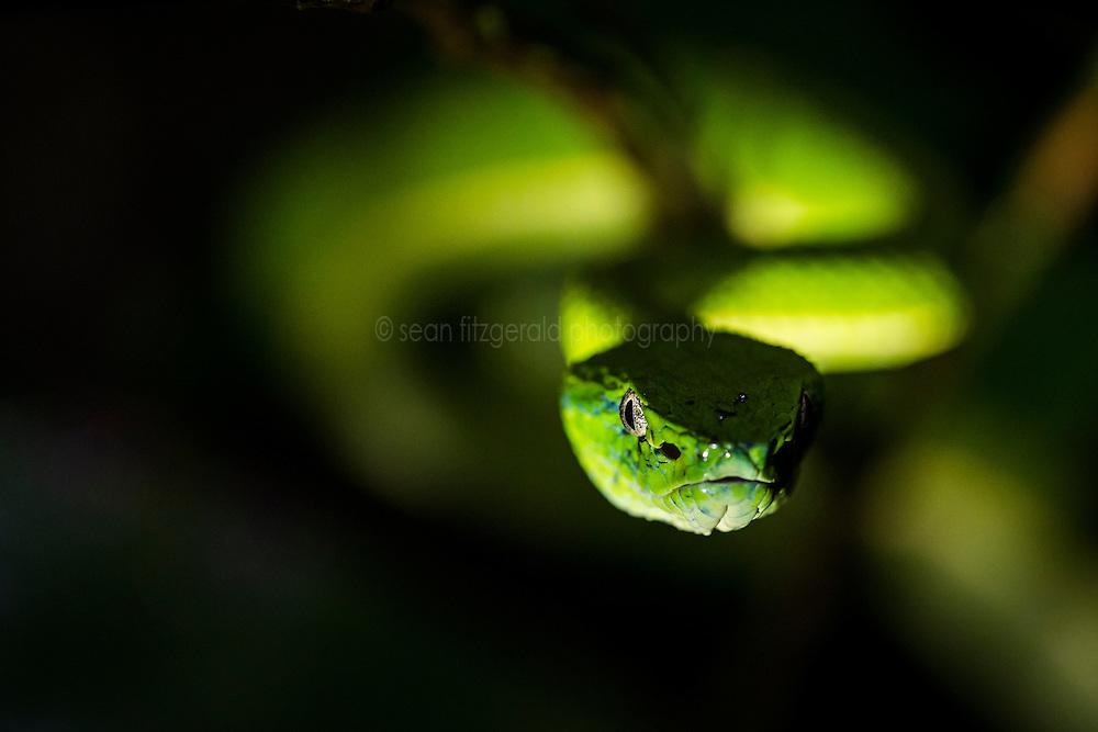 Palm pit viper (Bothriechis lateralis) near Monteverde Cloud Forest Preserve, Costa Rica. Captive.