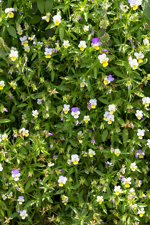 Viola edible flowers for salads in vegetable garden in Oxfordshire