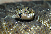 puff adder, Bitis arietans head and tongue