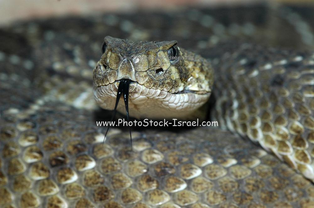 puff adder, Bitis arietans head and tongue