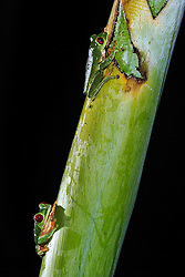 Red-eyed tree frog (Agalychnis callidryas) near Manuel Antonio National Park, Costa Rica.