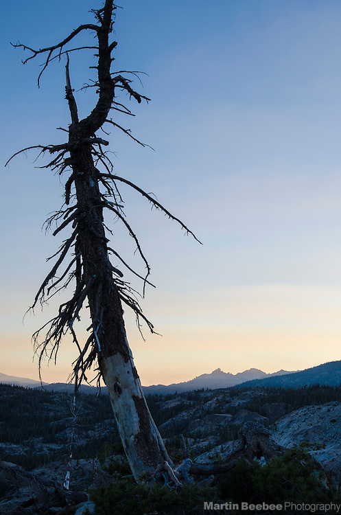Dead pine tree at dawn, Carson-Iceberg Wilderness, Stanislaus National Forest, California