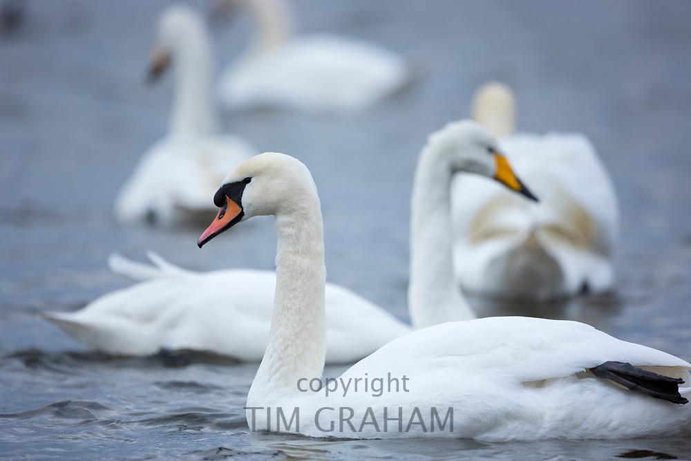 Mute Swan, Cygnus olor, front with Whooper Swan, Cygnus cygnus, behind at Welney Wetland Centre, Norfolk, UK
