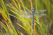 As fall takes hold this dragon fly is showing the signs of a tough season.