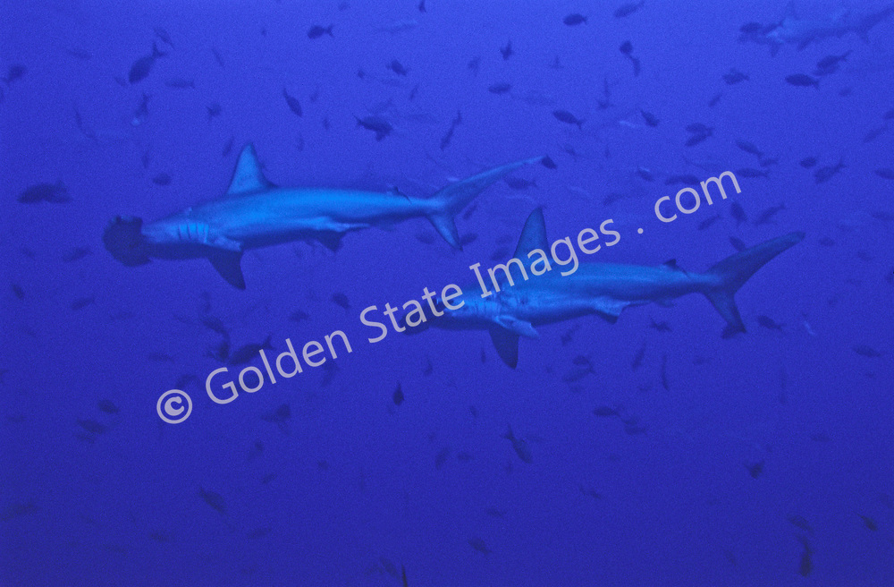 Can be seen in very large numbers around Cocos Island.    <br /> <br /> Range: Found worldwide in tropical and semitropical waters.  <br /> <br /> Species: Sphyma lewini