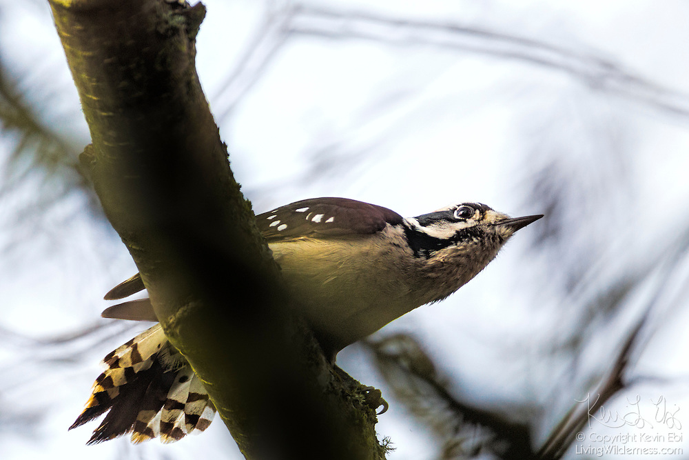 A hairy woodpecker (Leuconotopicus villosus) takes off from a branch in the Washington Park Arboretum in Seattle, Washington. Hairy woodpeckers forage on trees, turning over bark or excavating to uncover insects. They also eat fruits, berries and nuts, and occasionally tree sap.