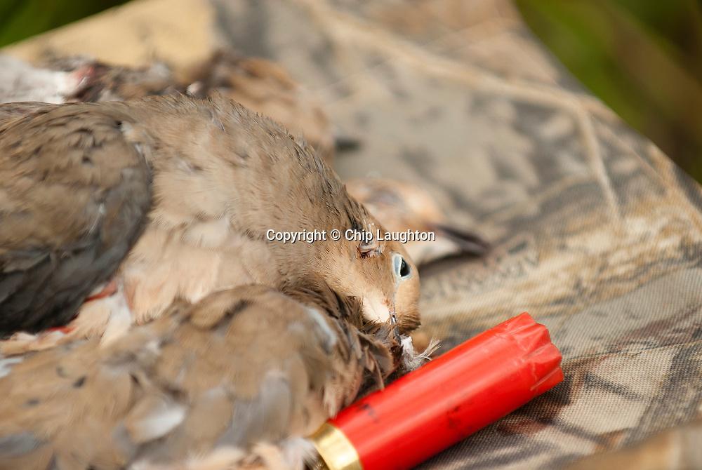 dove hunting stock photo image