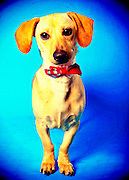 A darling dachshund puppy awaiting a home at the Sacramento city animal shelter.