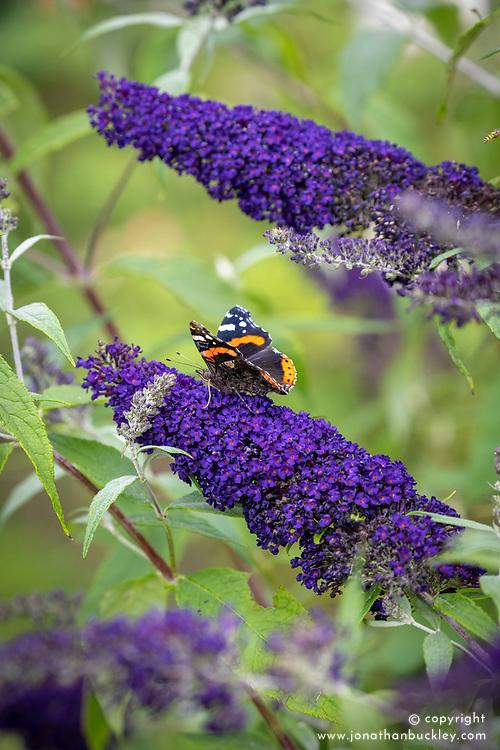 Red admiral butterfly on Buddleia davidii 'Buzz Indigo'