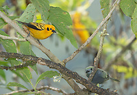 Golden tanager, Tangara arthus goodsoni, Tandayapa Valley, Ecuador