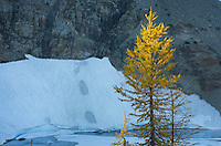Subalpine Larch (Larix lyallii) at Wing Lake, North Cascades Washington