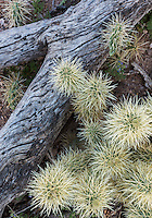 close up detail of prickly pear cactus and cholla growing on desert floor
