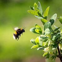 2018-04-20 Streekgerecht Blauwe honingbessen Boelenslaan