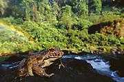 Giant Frog<br />Acaba Vida Waterfall<br />Near Barreiras, Bahia State<br />ne BRAZIL  South America