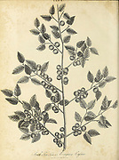 Ilex South Sea Tea or Evergreen Cassine Copperplate engraving by J. Pass From the Encyclopaedia Londinensis or, Universal dictionary of arts, sciences, and literature; Volume X;  Edited by Wilkes, John. Published in London in 1811
