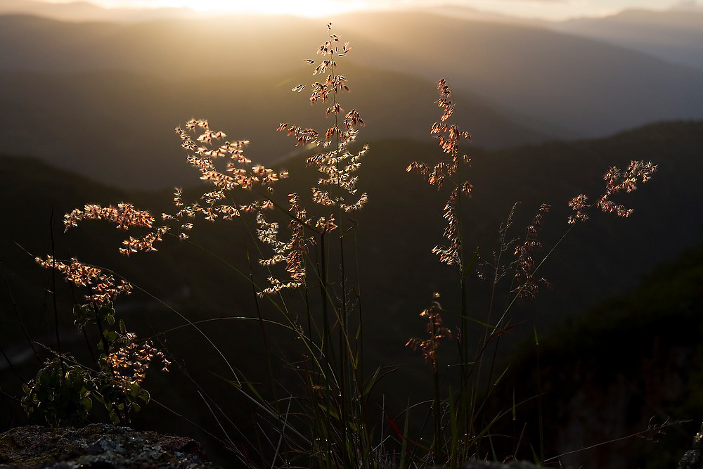 Sunset light backlits wispy fllowering grasses in the hills above Santa Catarina Lachatao, in the Sierra Norte Mountains of Oaxaca state, Mexico.
