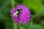 A bumblebee crawls on a purple Centaurea flower. Centaurea is a genus of hundreds of species of herbaceous thistle-like flowering plants (commonly called knapweed, starthistle, centaury, centory) in the family Asteraceae. Centaurea are found only north of the equator. August is a good month to see many attractive alpine wildflowers blooming in the Alpstein limestone range, Appenzell Alps, Switzerland, Europe. Appenzell Innerrhoden is Switzerland's most traditional and smallest-population canton (second smallest by area).
