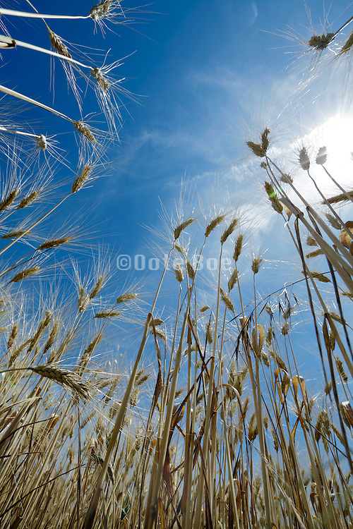 low angle view of ripe heavy hanging wheat head