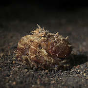 Small octopus foraging at night in the muck of Lembeh Strait in North Sulawesi, Indonesia