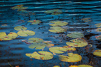 Colorful lily pads are highlighted by the blue reflection of the sky.