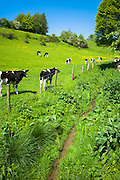 Herd of Holstein-friesian cows by The Swin Brook stream in summer in Swinbrook, The Cotswolds, Oxfordshire, UK