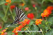 03006-002.20 Zebra Swallowtail (Eurytides marcellus) on Red Spread Lantana (Lantana camara) Marion Co.  IL