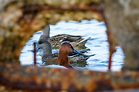 Canvasback Duck (Aythya valisineria) on the Chesapeake Bay, near Cambridge, Maryland, U.S.A.