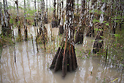 Bald cypress (Taxodium distichum) trees grow in a swamp flooded by recent rains in Everglades National Park, Florida.