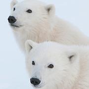 Two polar bear (Ursus maritimus) cubs near Churchill, Manitoba, Canada.