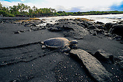 Hawksbill Sea Turtle, Punaluu Black Sand Beach, Island of Hawaii