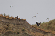 A pair of bald eagles (Haliaeetus leucocephalus) hunt on the cliffs of Protection Island National Wildlife Refuge in Jefferson County, Washington. Protection Island, located at the mouth of Discovery Bay in the Strait of Juan de Fuca, is a 364-acre island mainly covered with grass and low brush. The island, which also has high sandy bluffs, serves as a nesting ground for 72 percent of the seabirds that nest in the Puget Sound area. Bald eagles prey on those seabirds and their young.