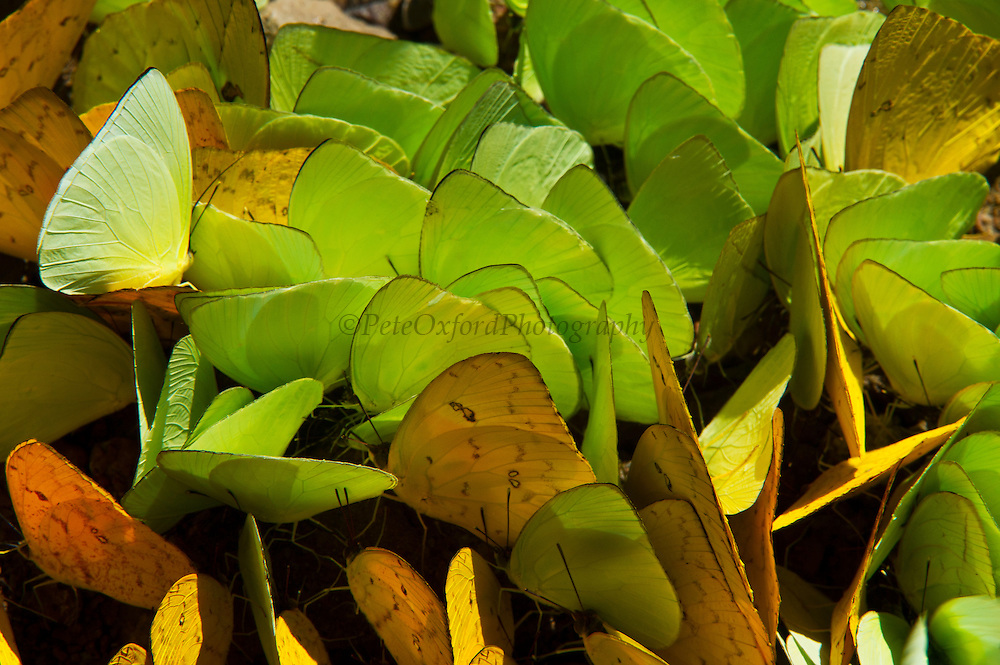 Sulfur Butterflies on mineral lick (Phoebis sp.)<br /> Yasuni National Park, Amazon Rainforest<br /> ECUADOR. South America<br /> HABITAT & RANGE:Sulfur Butterflies on mineral lick (Pieridae, Phoebis sp.)<br /> Yasuni National Park, Amazon Rainforest<br /> ECUADOR. South America<br /> HABITAT & RANGE: