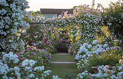 The Long Garden at David Austin Roses with Rosa 'Rambling Rector' AGM growing over a pergola and Rosa 'Francine Austin' and Rosa 'Madame Legras de Saint Germain'  in the foreground.