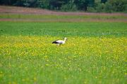 Wdzydze Kiszewskie, 20011-07-05. Kaszubski krajobraz , bocian na łące.