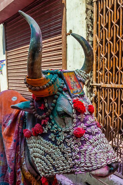 A costumed cow, Holi Festival celebration (Festival of Colors) outside the Banke Bihari Temple, Vrindavan, near Mathura, Uttar Pradesh, India.