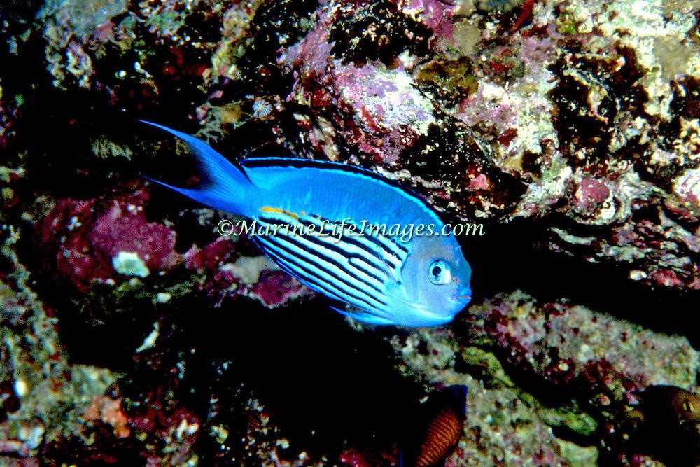 Penstriped Angelfish inhabit reefs. Picture taken Solomon Islands.