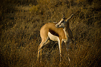 Young Springbok in the morning light in Etosha National Park, Namibia