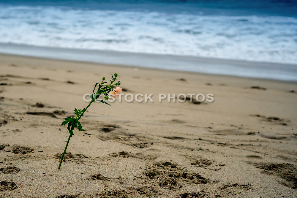 Carnation Flower in the Sand at the Beach