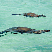 Galapagos Sea Lion (Zalophus californianus) swimming in the ocean.  Galapagos, Ecuador.