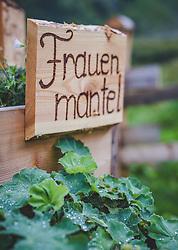 THEMENBILD - die Pflanze Frauenmantel (Alchemilla) wird in einem Schaugarten neben der Fürthermoar Alm angebaut, aufgenommen am 09. August 2018, Kaprun, Österreich // the plant lady's mantle (Alchemilla) is grown in a show garden next to the Fürthermoar Alm on 2018/08/09, Kaprun, Austria. EXPA Pictures © 2018, PhotoCredit: EXPA/ Stefanie Oberhauser