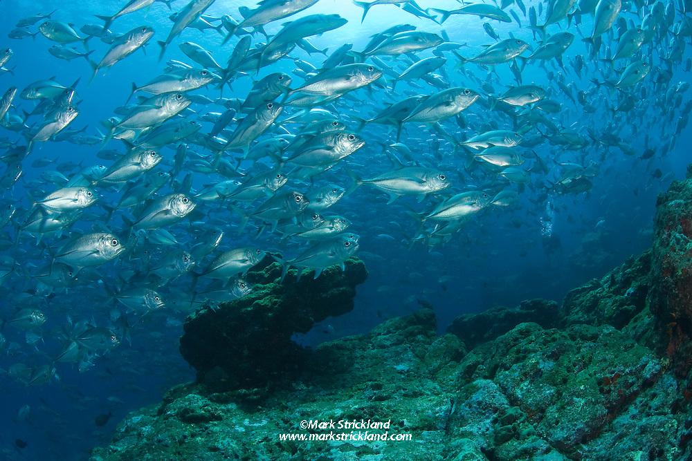 A massive school of Bigeye Trevally, Caranx sexfasciatus, swarms over a submerged pinnacle. Narcondam Island, Andaman Islands, Andaman Sea, India