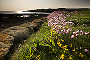 Sea Pink (Thrift) glows in the evening sunlight at the edge of the churchyard of the 13th Century, Anglican, Eglwys Cwyfan (St Cwyfan's Church), not far from the small village of Aberffraw on Anglesey's West coast, at one time stood on the mainland coast but over the years, the sea has eroded the surrounding land leaving it stranded on it's own little island. Services are still occasionally held here but times are tide dependent.